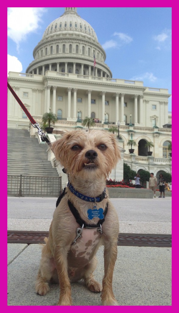 Capitol Pup